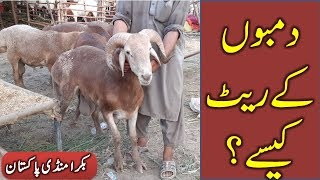 Turkey Dumbay in Lahore Bakra Mandi 2018 for Qurbani Eid
