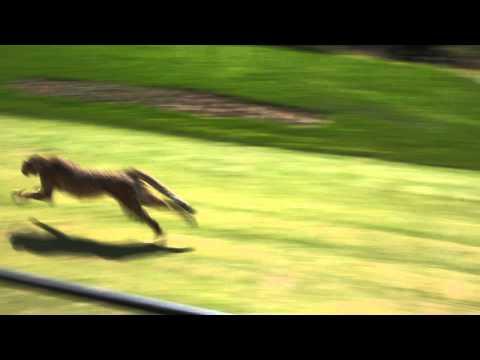 A cheetah 0-60 mph run in 4 seconds