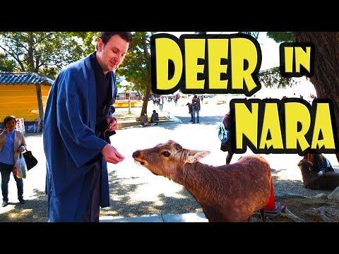 How to Feed the Deer in Nara Japan