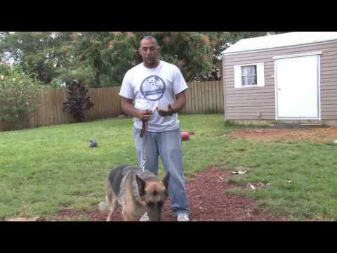 Dog Training & Care : Dog Breeds for Service Animals