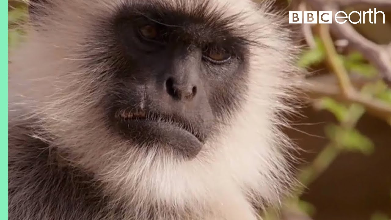 Scarface Fights Off Other Monkeys   Life Story   BBC Earth