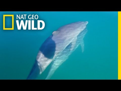 Male Bottlenose Dolphin Friends 'Hold Hands' | Nat Geo Wild