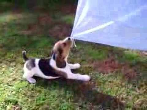 Beagle puppy pulling at washing on the line