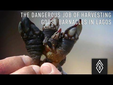 The dangerous job of harvesting goose Barnacles in Lagos, Portugal - Video 2/4