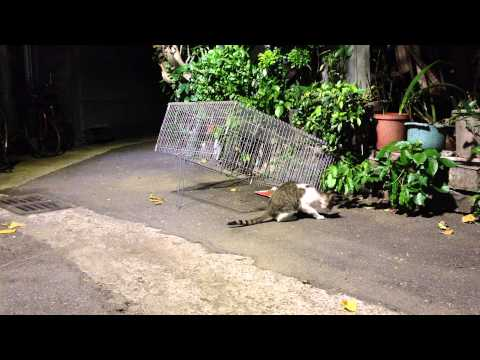 Feral cat TNR Neighborhood Cats Drop Trap 20141002
