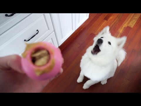 How to Keep Your Dog Busy While You're Gone or at Work - Nukka the Samoyed