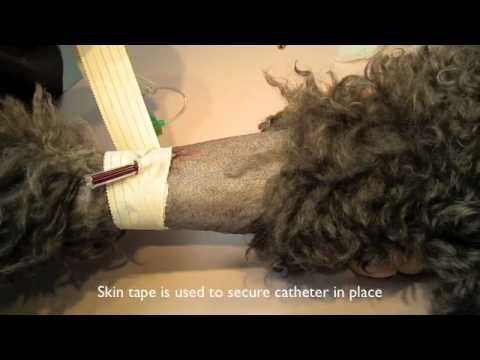 IV catheter placement in a dog