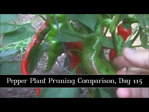 Pepper Plant Pruning Comparison, Day 115