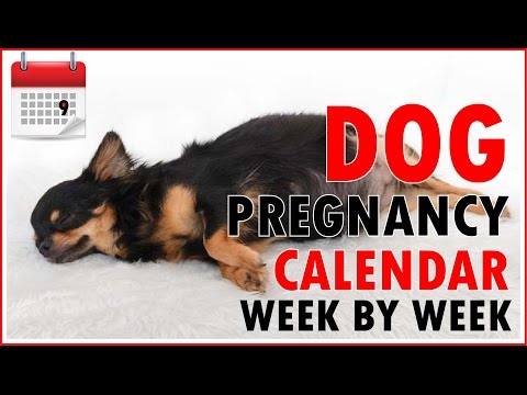 Dog Pregnancy Calendar - Week by Week (Don't miss out)