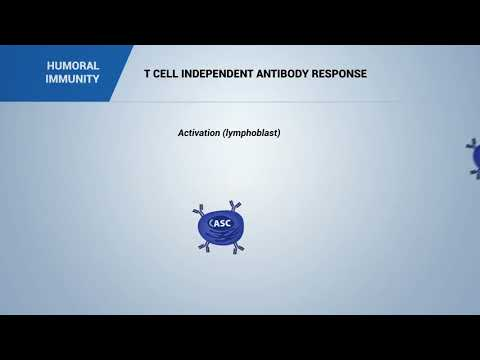 HUMORAL IMMUNITY:  T cell independent antibody response