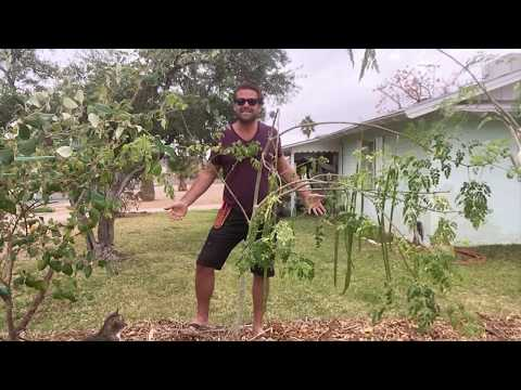 Ep146 - Trimming my Little 'MegaPod Moringa' for Spring Growth