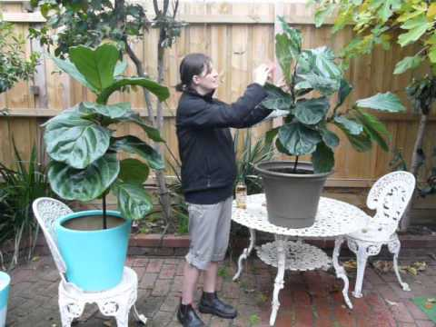 Indoor Plants Pests - Mealybugs on Fiddle Leaf Fig Trees