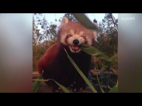 Adorable red panda has the time of his life eating bamboo