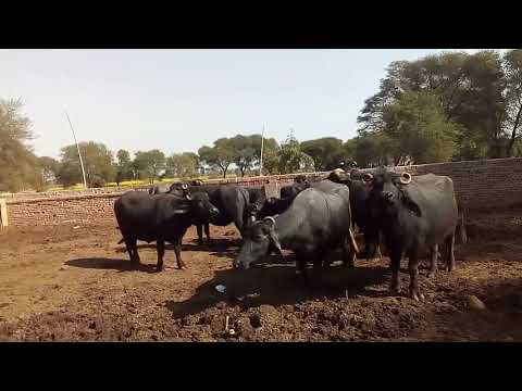 Famous cattle markets in Urdu/Hindi / konsi mandi kahan aor kis din lagti hay