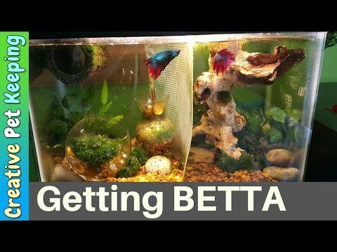 Male Betta Fish Fin Recovery | Cured Fin Rot