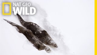 River Otters on the Run | Wild Yellowstone