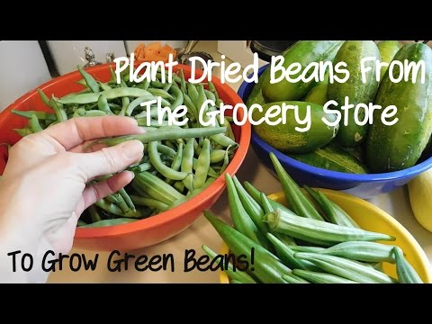 We Planted Dried Grocery Store Beans to Get Green Beans in Our Garden!