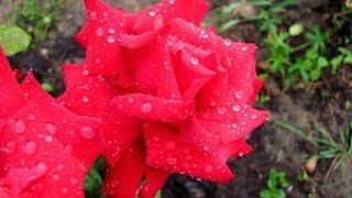 Вырастить розы из черенка - это несложно