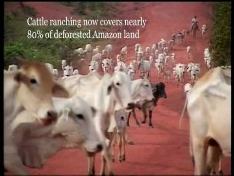 How cattle ranching is destroying the Amazon rainforest