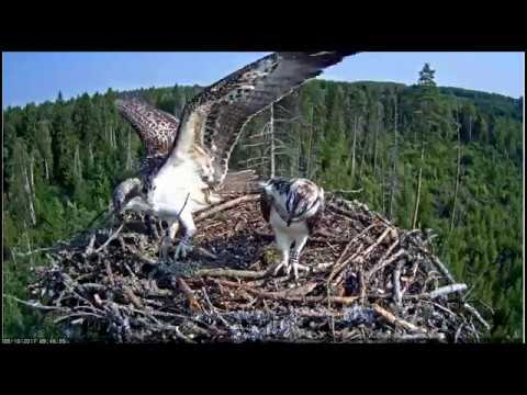 Young osprey Daisi learns to carry fish. / Estonian Osprey nest