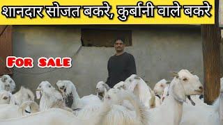Beetal Chak Kili Jora Pakpattan Sharif || Nagri Beetal Goats