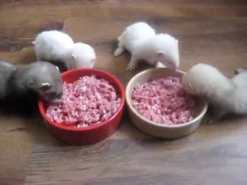 Baby ferrets eating breakfast