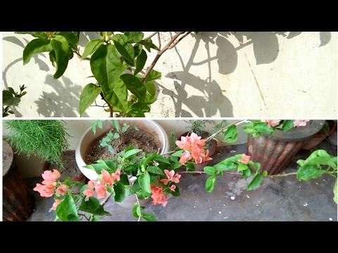 How to keep bougainvillea Blooming with  all update