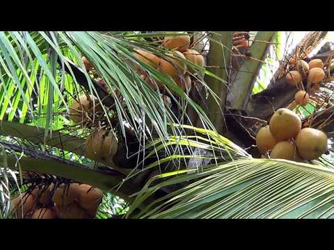 Red coconut tree - Me cut down the tree... why ?