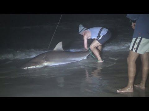 Catching Big Sharks Off The Beach