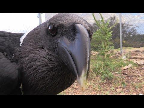 Pit Bull vs. Raven
