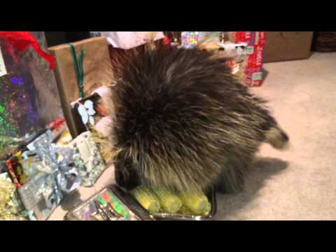Teddy Bear the Porcupine's Christmas Morning Frolic