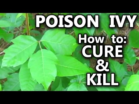 POISON IVY how to Treat Rash Cure Kill Identify the Vines and Plant Leaves stop the itch pet cat