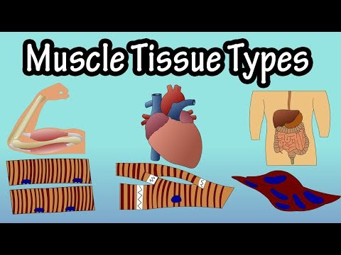 Muscle Tissue - Types Of Muscle Tissue - Structure Of Muscle Tissue