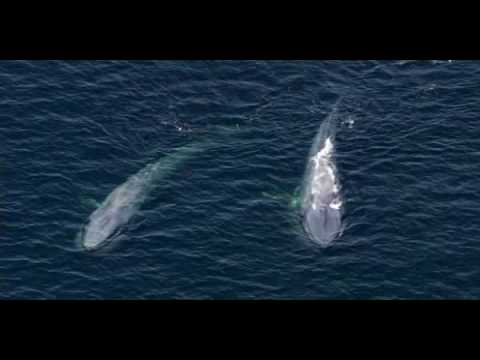 Blue Whale - the largest animal ever to have existed