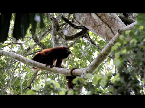 Red howler monkey howling, Tambopata Reserve - Peru