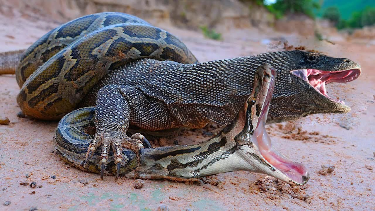 Komodo vs Python Survival Battle - Wild Dogs and Crocodile Siege Catches Kudu
