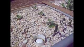 Chift Pist System in IBC Tote Aquaponics