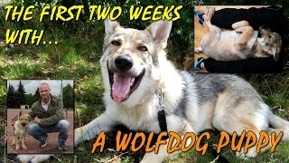 Czechoslovakian Wolfdog Vlcak Lovec - The First Two Weeks, playing wolf dog puppy