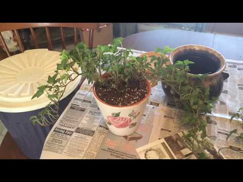 Making an Ivy Topiary
