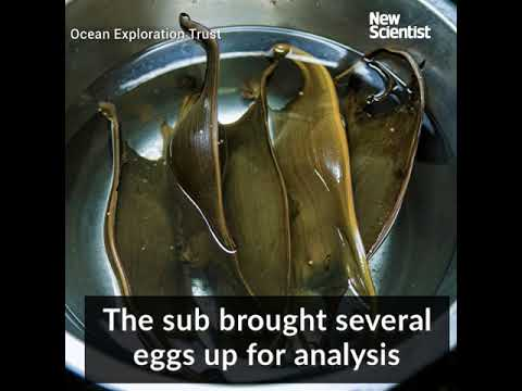Fish discovered to incubate their eggs on sizzling deep vents