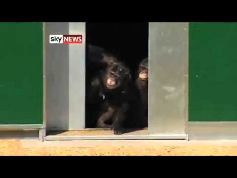 Lab Chimps Laugh And Hug At Taste Of Freedom - With Music