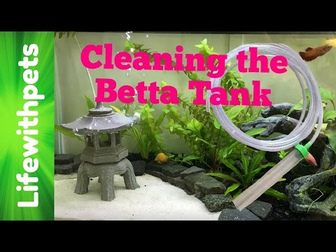 Cleaning a Betta Sorority Community Tank (Time lapse)