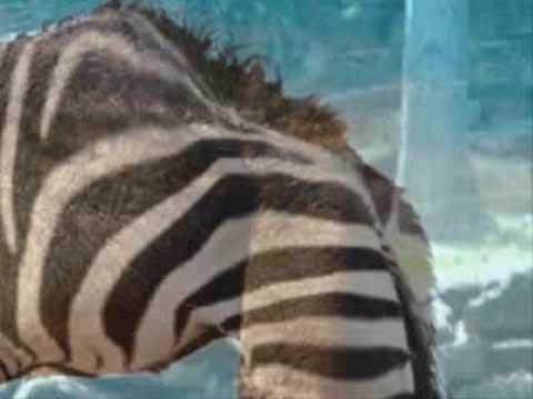 Making camel of zebra using Photoshop
