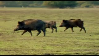 How do you solve a problem like feral pigs?