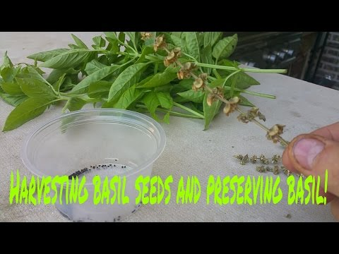 How to harvest basil seeds and preserve basil!