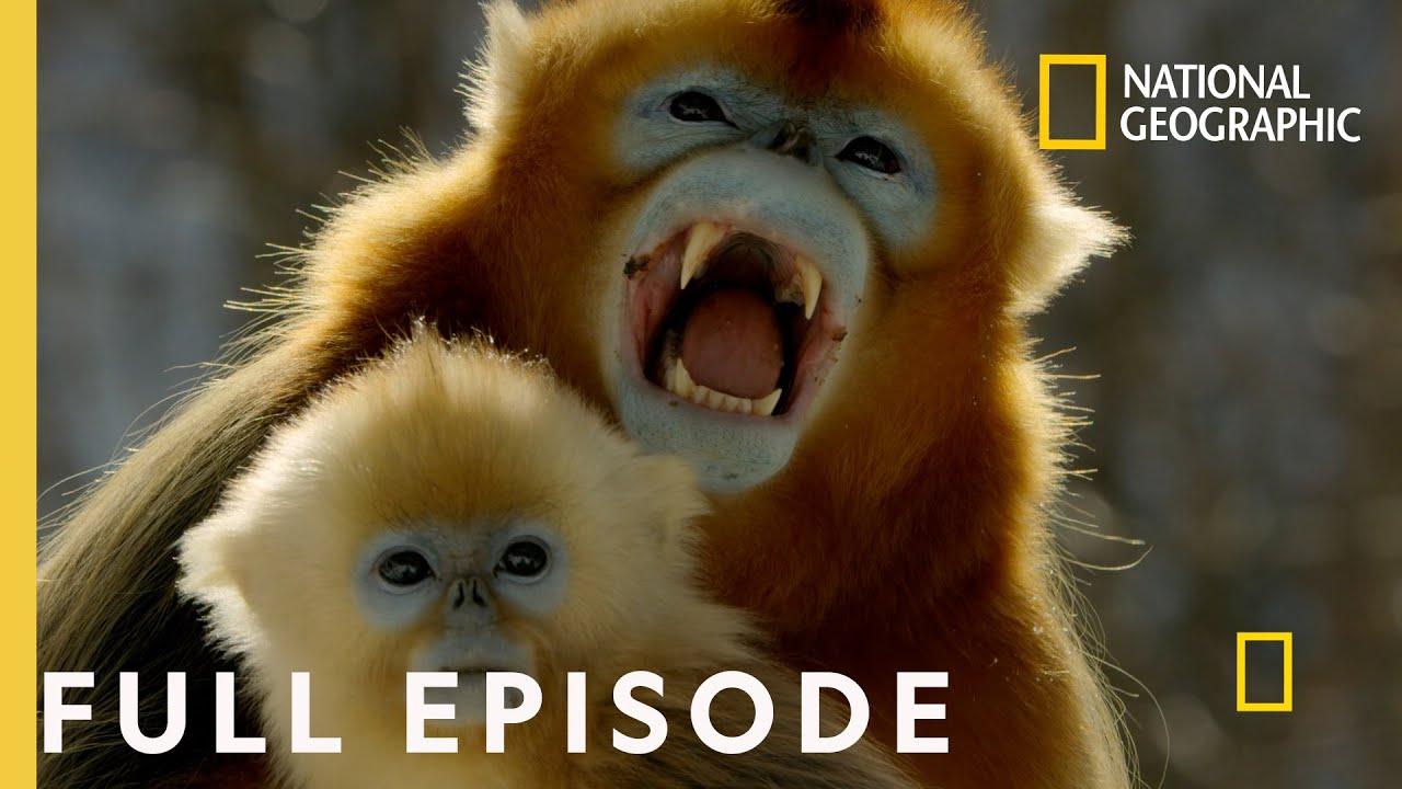 Forest of the Golden Monkey (Full Episode) | China's Hidden Kingdoms