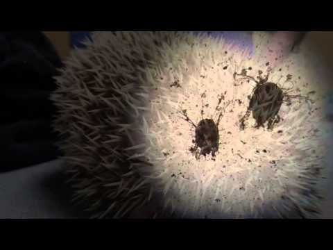Hedgie with mites and one normal spine on exam