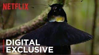 Our Planet   Birds Of Paradise   Exclusive Clip   Netflix