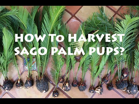How to Harvest Sago Palm Pups? King Sago or Japanese Sago Palm
