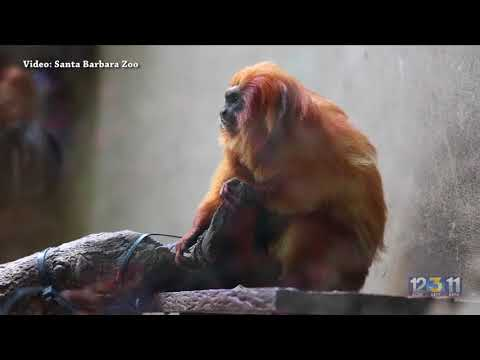 Golden lion tamarin baby born at Santa Barbara Zoo